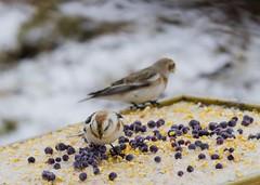 Snow Bunting / Snjótittlingar (ingolfssonvalur) Tags: snjótittlingur plectrophenax nivalis snow bunting bird birds iceland wildlife