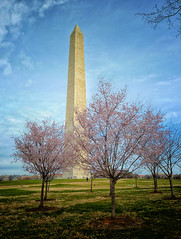 Cherry blossom blooms at the Washington Monument (` Toshio ') Tags: toshio washington dc washingtondc districtofcolumbia washingtonmonument cherryblossoms tree blooms america usa cherryblossomfestival monument nationalmall