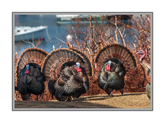 Leader Of The Pack (Me in ME) Tags: maine harpswell baileyisland wildturkey tomturkey matingdisplay explore