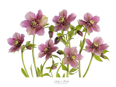 Helleborus x hybridus 'Tutu' (Jacky Parker Flower Photography) Tags: helleborusxhybridustutu hellebore helleborus lentenrose christmasrose flowers pink closeup highkey whitebackground creativeedit springflowers springtime spring2017 freshness beautyinnature floralart flowerphotography fineart nopeople flowerdisplay floralarrangement lightpadwork nikon uk