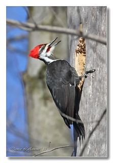 103A6834-DL   Grand pic (mâle) / Pileated Woodpecker (male).