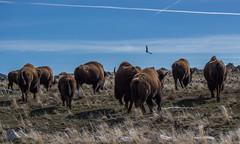 Charging Bison (cmmacvisuals) Tags: bison buffalo antelope adventure antelopeisland utah saltlakecity nature neature outdoors explore wildlife animals