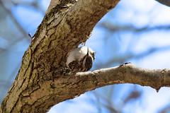 #147. Upside-down Creeper (Jan Nagalski) Tags: bird creeper browncreeper blue tree treetrunk bark unusual strange interesting nature wildlife lakestclairmetropark southeastmichigan michigan jannagalski jannagal lifebirdphotograph brown depthoffield backgroundblur 147