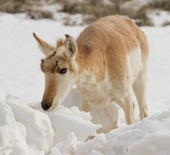 IMG_8570 Unexpected Pronghorn (cmsheehyjr) Tags: cmsheehy colemansheehy nature wildlife pronghorn antelope jackson wyoming nationalelkrefuge snow jacksonhole