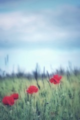 Coquelicots - 2016 (Nadège Gascon) Tags: charente wildlife nature sauvage flower canon rouge fleur poppies coquelicots coquelicot