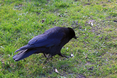 "Rabenkrähe (Corvus corone) • <a style=""font-size:0.8em;"" href=""http://www.flickr.com/photos/69570948@N04/33466106486/"" target=""_blank"">View on Flickr</a>"