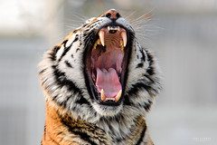 Open Wide (TDG-77) Tags: nikon d750 tamron 150600mm vc amur siberian tiger big cat animal wildlife