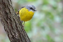 Eastern Yellow Robin_3334E (Neil H Mansfield) Tags: yellow robin eastern victoria pointaddis nature foirest eopsaltriaaustralis