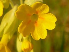 Schlüsselblumen-Blüte (Jörg Paul Kaspari) Tags: echte schlüsselblume primula veris primulaveris blüte flower gelb yellow spring frühling