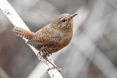 Pacific wren,  Troglodytes pacificus (jlcummins - Washington State) Tags: bird oakcreekwildlifearea yakimacounty washingtonstate fauna troglodytespacificus