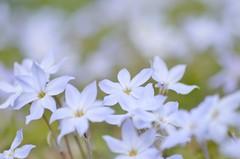 spring starflower (snowshoe hare*) Tags: ハナニラ dsc0189 springstarflower starflower flowers botanicalgarden 海の中道海浜公園
