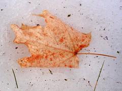 170308-35 Bien Consevée (clamato39) Tags: feuille leaf hiver winter snow neige nature érable provincedequébec québec canada outside