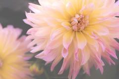 Chrisite Rosella Dahlias (Sharon Wills) Tags: adelaidebotanicgarden adelaide botanic gardens garden dahlias tuberous herbaceous perennial asteraceaea compositae dicotyledonous christieroselladahlias christierosella dahlia flower flowers