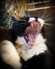 yawn (sillitilly) Tags: cat animal kitty gato feline yawn tired chilli