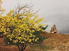 #cappadocia #goreme #spring #yellow #tree #flowers (unchartedackles) Tags: cappadocia goreme tree yellow spring flowers