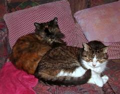 Harmony in pink.... (skipscales) Tags: cat cats tabby tabbywhite tortie tortoiseshell sleeping sofa pink indoors poppy bella