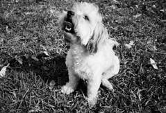 Pretty Hayley (leonardovasquez) Tags: fuji yashica t4 analog dog lima peru black white fujifilm superia xtra