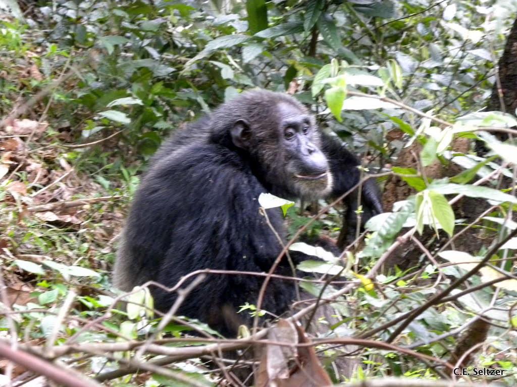 Chimpanzee Taxonomy The World's...