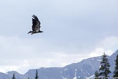 Golden Eagle (LordTez) Tags: minolta sony falls alberta alpha siffleur 100200 slta65 pokorra