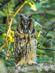 Young Long Eared Owl -- heavy crop (bredma) Tags: wild nature birds adult feeding wildlife hunting young naturallight olympus owl 75300mm calling juvenile longearedowl em1 quartering