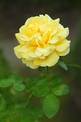Yellow rose (Anthony-Lacaes) Tags: park green nature rose yellow japan jaune garden photography japanese tokyo photo jardin vert anthony    parc  japon verdure japonais japonaise lacaes