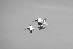 White pelicans in tight formation over the coast at Pebble Beach golf course. DSC_0664 copy 4 (wbaiv) Tags: california wild bw white bird beach pelicans birds animal golf bay coast flying blackwhite forrest grove nopeople course pebble shore 17miledrive monte avian