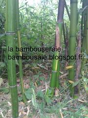 phyllostachys castillons inversa (arbresetjardin) Tags: bambou phyllostachys inversa castillon labambouseraie bambougéant labambousaie