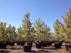 45g Loblolly Pine