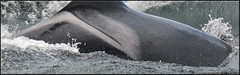 L72 Racer (Selena Rhodes Scofield Photography) Tags: orca sanjuanisland lpod srkw selenarhodesscofieldphotography