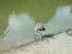 Emu (Affen- & Vogelpark Eckenhagen)