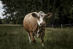Animals looking at me (Joerg Marx) Tags: animals tiere kuh cow rind cows