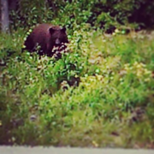 Black bear feeding along Hamilton Blvd. this morning. Had 2 cubs in tow #yxy #Yukon #wildernesscity