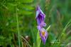 Purple Madness 3_edited-1 (Photos by Wesley Edward Clark) Tags: flowers oregon silverton wildiris scottsmills buttecreekfalls