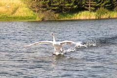 Landing gear down (Eiona R.) Tags: swan wfcburryport2014