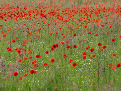 Poppy field (Teelicht) Tags: field germany deutschland feld poppy braunschweig papaver schapen mohn niedersachsen lowersaxony olympusomdem5 olympusm75300mmf4867ii