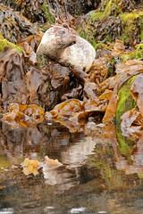 Dunvegan (daniel.virella) Tags: ocean uk sea reflection skye nature mammal scotland reflex highlands isleofskye innerhebrides atlantic seal hebrides lochdunvegan picmonkey:app=editor