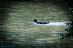 Lab with a Stick (David Warlick) Tags: dog lake water swimming fetch fetching postprocessing