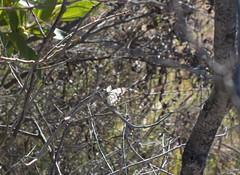Pieridae>Belenois java teutonia Caper White butterfly Mating DSCF1429 (Bill & Mark Bell) Tags: male animal fauna female insect java australia lepidoptera westernaustralia animalia arthropoda exmouth insecta teutonia pieridae belenois belenoisjava taxonomy:class=insecta taxonomy:order=lepidoptera taxonomy:family=pieridae taxonomy:kingdom=animalia taxonomy:phylum=arthropoda caperwhitebutterfly geo:country=australia geo:state=westernaustralia taxonomy:genus=belenois geo:town=exmouth geo:lon=11425453egeolat2217752sgeoalt8m taxonomybinomialnamebelenoisjava taxonomycommonnamecaperwhitebutterfly 11425453e2217752salt8m