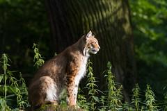 Sunbathing (The Wasp Factory) Tags: zoo tierpark lynx luchs wisentgehege springe eurasianlynx eurasischerluchs nordluchs wisentgehegespringe canoneos7d ef70200lf28isii
