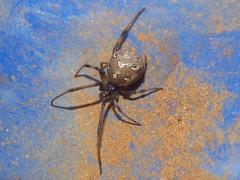 Theridiidae>Latrodectus geometricus Brown widow spider DSCF1869 (Bill & Mark Bell) Tags: exmouth westernaustralia australia geo:town=exmouth geo:state=westernaustralia geo:country=australia geo:lon=11425453egeolat2217752sgeoalt8m 11425453e2217752salt8m taxonomy:kingdom=animalia animalia taxonomy:phylum=arthropoda arthropoda taxonomy:class=arachnida arachnida taxonomy:order=araneae araneae taxonomy:family=theridiidae theridiidae taxonomy:genus=latrodectus latrodectus geometricus taxonomybinomialnamelatrodectusgeometricus latrodectusgeometricus taxonomycommonnamebrownwidowspider brownwidowspider spider
