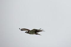 Osprey (Boulder Flying Circus Birders) Tags: osprey pandionhaliaetus birdwalk mccalllake stevefrye wildbirdcenterboulder ospreyboulder ospreycolorado wildbirdboulder wildbirdcolorado ospreybouldercounty