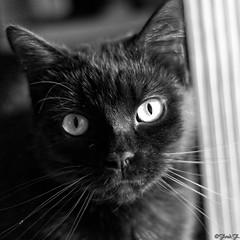 ...les yeux dans les yeux... (fredf34) Tags: portrait blackandwhite bw white black cat chat noiretblanc pentax nb gato format ricoh fury carr k3 fredf formatcarr portraitcarr fredf34 pentaxk3 ricohpentaxk3 fredfu34 pentax50mmf18smcda