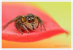 Little jumper (Vin PSK) Tags: red macro yellow jumper jumpingspider littlejumper