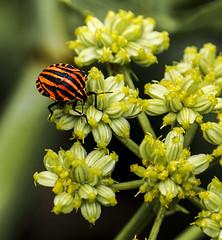 C2238-Coleptero de paseo alimenticio (Eduardo Arias Rbanos) Tags: flower macro sex insect lumix flor panasonic sexo g6 insecto macrophotography macrofotografa coleptero coleopteran eduardoarias eduardoariasrbanos