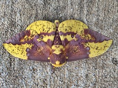 Another Giant Morhra (Harvey Bullock) Tags: color colors beauty yellow giant outside outdoors big colorful moth naturallight mothra intersting iphone greatphotographers iphone5s uploaded:by=flickrmobile mothhughgiantmothrayellowbrowninsectiphonebugunbelievablelight