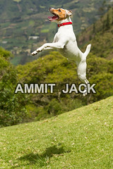 Who says i am short (Globetrotter Jack) Tags: summer ballet dog pet brown sun white playing motion cute green nature muscles grass animal vertical speed puppy jack mammal happy flying high jump russell power action sweet outdoor muscular air small russel young levitation canine run terrier domestic agility chase doggy breed predator frontal parson chasing lowangle agile purebred