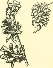Anglų lietuvių žodynas. Žodis aster divaricatus reiškia arvydas divaricatus lietuviškai.