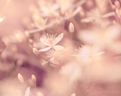 Blushing (AlyKPhoto) Tags: pink light wild sun sunlight flower macro nature beauty canon outside outdoors happy weeds weed soft pretty peace blossom wheat country rustic tan peaceful sunny 100mm bloom usm wildflower pure f28 6d