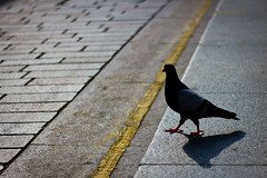 Why Did The Pigeon Cross The Road? (Leanne Boulton) Tags: life road lighting street city light shadow wild summer portrait urban sun sunlight detail bird texture nature field lines weather birds animal animals yellow fauna modern composition contrast walking landscape fun photography living aperture focus funny humorous crossing shadows dof looking natural bright bokeh outdoor pavement pigeon dove candid wildlife stock streetphotography angles sunny scene humour line sidewalk shade form shape boke kerb depth tone feral fragment tonality bokehlicious