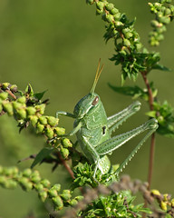 Green Giant (antglass) Tags: nature insect florida grasshopper cbbr